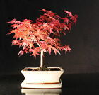 Japanese Maple 35 40 cm Bonsai tree in ceramic pot with Drip tray