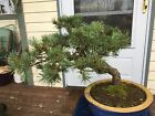 SCOTCH PINE Bonsai