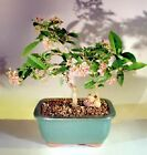 Indoor Bonsai Flowering Dwarf Weeping Barbados Cherry Bonsai Tree small 7 yr 7T
