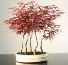 Japanese Maple 40 45 cm Forest Bonsai tree in oval ceramic pot