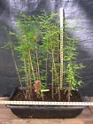 Pre Bonsai Bald Cypress 13 Tree Forest 4