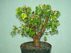 Trident maple bonsai stock7tri622Nice broom style tridentgood start