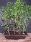 Pre Bonsai Bald Cypress 13 Tree Forest 9