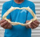 Real 10 1 2 inch Scalloped Hammerhead shark jaw teeth mouth taxidermy  30168