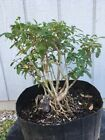Collected Cattle Browsed Privet Shohin Pre Bonsai Stock 3