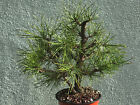 Japanse black pine bonsai stock8pntwn119Nice rare twin trunk tree