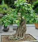 Pappelfeige Seeds Ficus Religiosa Buddha Tree Bodhi Tree Bonsai Suitable