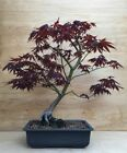 Red Japanese Maple Bonsai Tree Atropurpureum Momiji Thick Trunk No Graft