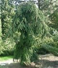Picea abies Inversa 90cmchoice weeping+hugs ground4 DISC DIRECT PAYMENT