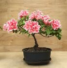 Beautiful Azalea Flowering Bonsai Tree Shohin IN BLOOM