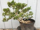 Big Old Morris Dwarf Boxwood Pre Bonsai Tree Nice Leaning Stock