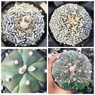 10 Seeds of Astrophytum asterias V-type, Fukuryo, 5 Ribs Insertion BC-54Thailand