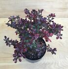 Rare Crimson Pygmy Dwarf Japanese Barberry Bonsai Tree Thick Trunk Red Purple