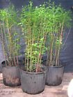7 Tree Pre Bonsai Bald Cypress Forest