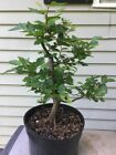 Korean Hornbeam Tree Pre Bonsai Stock 1