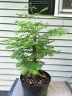 Dawn Redwood Tree Pre Bonsai Stock 2
