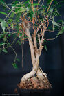 Live Ficus benjamina Pre Bonsai small leaf banyan fused trunks on rock 16 tall