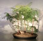 Dawn Redwood Bonsai 3 Tree Grp metasequoia glyptostroboides 5 8 yrs 22 tall