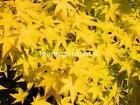 Rare Japanese maple cultivar 2yr Summer Gold