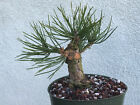 Japanese black pine bonsai stock9pn39stNice short pine