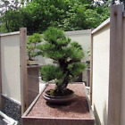 Pinus Thunbergii Japanese Black Pine Black Pine Bonsai 50 Fresh Seeds