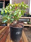 Japanese Pieris Flowering Pre Bonsai White Flowers amazing Jabari dual trunk