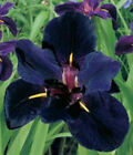 Flower 2 Black Gamecock Louisiana Iris Roots Bulb Plant Naturalizing Garden Gift