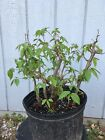 Japanese hornbeam Grove or forest Pre Bonsai Stock Group