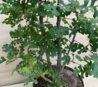 HTF Specimen California Valley Oak Pre Bonsai Tree Multi Trunk Quercus Lobata