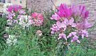 CLEOME Spider Flower seeds Multicolor mix Organic 50+ USA seeds