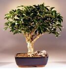 Hawaiian Umbrella Bonsai Tree Large arboricola schefflera 15 yrs old 14 16 T