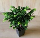 RARE Fern Hinoki Cypress Pre Bonsai Tree Shohin Evergreen Emerald