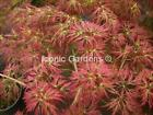 Rare Japanese maple cultivar 5yr Kawaii