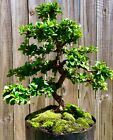 Fujian Fukien Tea Blooming Bonsai Tree S Curved Trunk 8 years Indoor Out