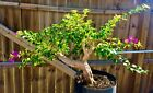 Pre Bonsai Style Bougainvillea 3 Thick Trunk Purple Blooms 001