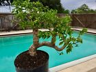 Pre Bonsai Style Bougainvillea 3 Thick Trunk Purple Blooms 002