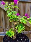 Bonsai Tree Style Bougainvillea Pre Bonsai 1 Trunk Deep Pink 009