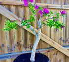 Bonsai Style Bougainvillea 2 Thick Trunk Purple Blooms Last one