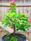 Bonsai Tree Style Bougainvillea Pre Bonsai Deep Pink 014