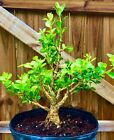 Japanese Boxwood Bonsai Tree 2 Base Trunk 7 years