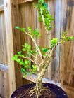 Japanese Boxwood Bonsai Tree 1+ Base Trunk 7 years