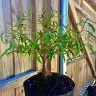 Willow Leaf Ficus Bonsai Tree Straight Trunk Ficus Nerifolia In Outdoor 5 year