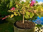 Bonsai Tree Exotic Chinese Fringe Flowers Pre Bonsai