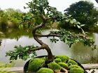 CHINESE ELM Pre Bonsai Bonsai Tree Cold Hardy Tiny leaves 12 years old
