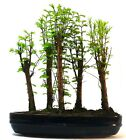 Dawn Redwood metasequoia 5 tree Forest Bonsai supplied with a free 1 to 1 bon