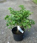 Ginkgo Mariken in 5L pot ideal for bonsai