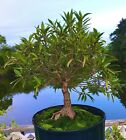 Ficus Narrow Leaf Bonsai Tree 1 Base Trunk 5 years In Outdoor