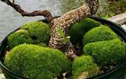 Bonsai Green Moss for tree Base trunk Indoor Outdoor usage