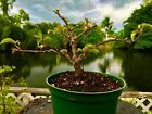 Bonsai Style Pre bonsai Bougainvillea Tree Sunstone Red 3 Years