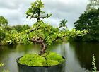 Bonsai Sweet Plum tree Nice leave Shape 1+ Trunk 8 9 Years